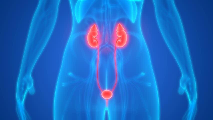Female Urinary System Anatomy. 3D