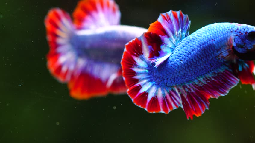 Both of Betta fish or siamese fighting fish swimming and movement in aquarium tank on green background, it have Thai flag pattern. Freedom concept