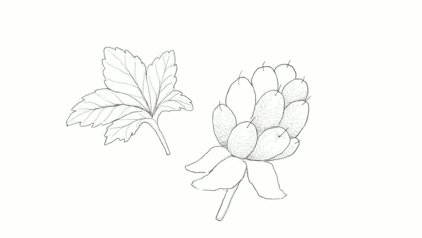 Berry Fruits, Motion Clip of Illustration Hand Drawn Sketch of Delicious Fresh Cloudberry or Rubus Chamaemorus Fruit With Green Leaves Isolated on White Background.