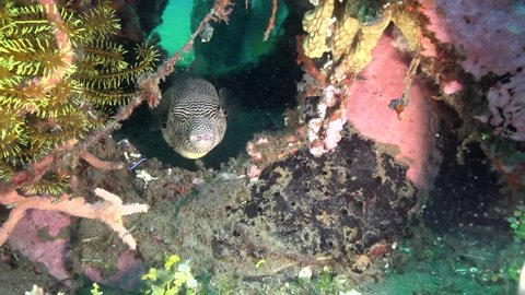 Map puffer (Arothron mappa) in the artificial corals in Zulu sea Dumaguete Philippines..