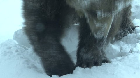 Russian Brown Bear Adult Lone Digging in Winter Claws