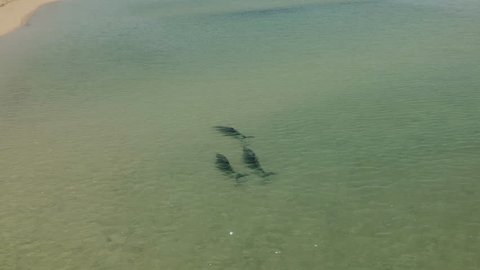 A birds eye view shot of dolphins swimming under the water. Camera tracks the movement of the dolphin