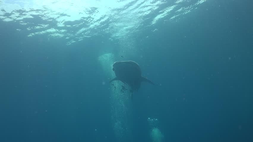 Whale shark from bellow  | Shutterstock HD Video #1011397649