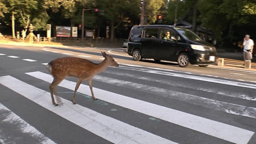 Nara, Japan - July 20, 2015 : A funny crossing by a careful deer in Nara
