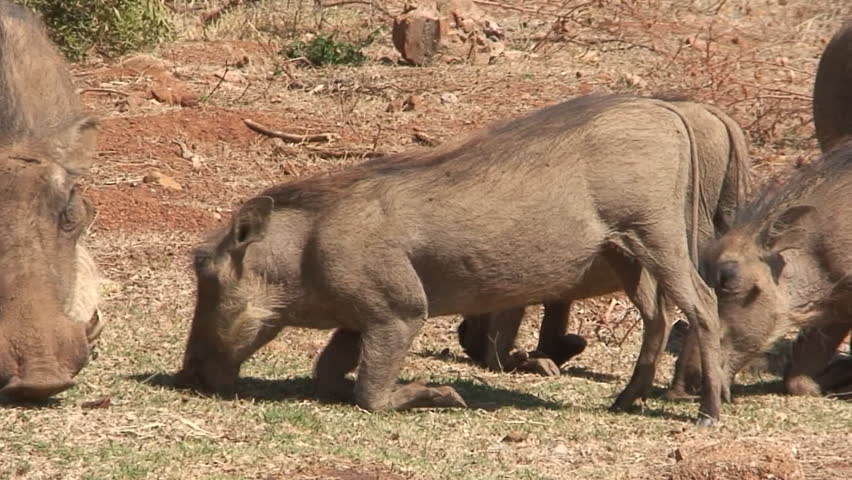 Warthog Adult Immature Herd Eating Dry Season On Knees Ground in South Africa