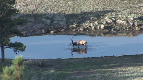 Elk Bull Male Adult Lone Drinking Water in Fall Standing Water Splashing Bathing in South Dakota