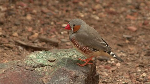 Zebra Finch Male Adult Lone Perched in Summer Rock