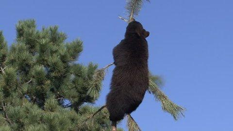 Black Bear Young Lone Climbing in Fall