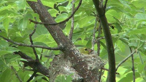 Goldfinch Female Adult Lone Nesting in Spring in South Dakota