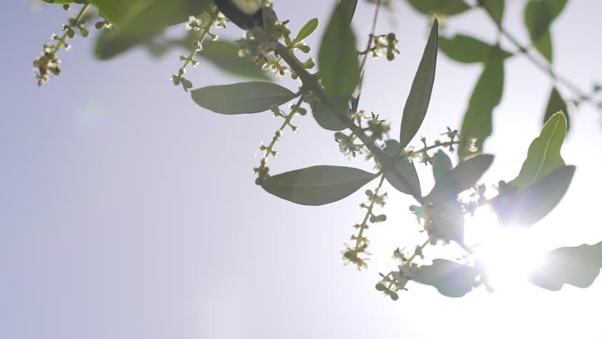 Amazing slow motion shot of the flowers of an olive tree in the backlit. Branch of a blooming olive tree with a bud of whitish flowers in spring or summer in Italy.