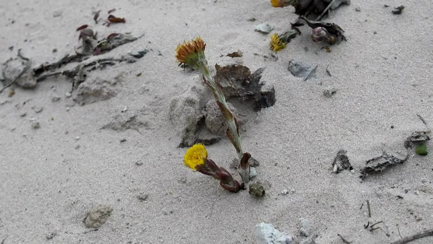 Unpretentious flowers foalfoot (coltsfoot, Tussilago farfara). Flowers primroses (early flowering) of aeolian sand, beginning of spring