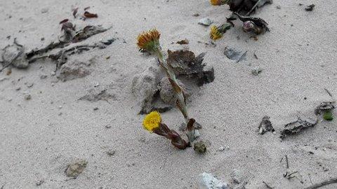 Unpretentious flowers foalfoot (coltsfoot, Tussilago farfara). Flowers primroses (early flowering) of aeolian sand, beginning of spring