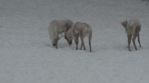 Caribou Adult Several Walking in Winter Snow Snowing