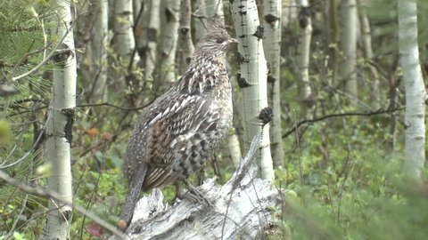 Ruffed Grouse Male Adult Lone Alarmed Spooked Frightened in Summer in South Dakota