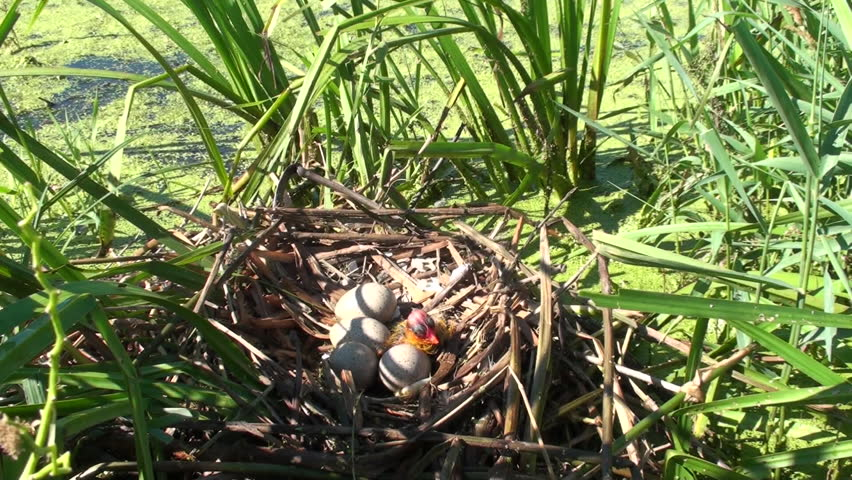 Coot Chick Young Lone Nesting in Summer Eggs Nest in North Dakota