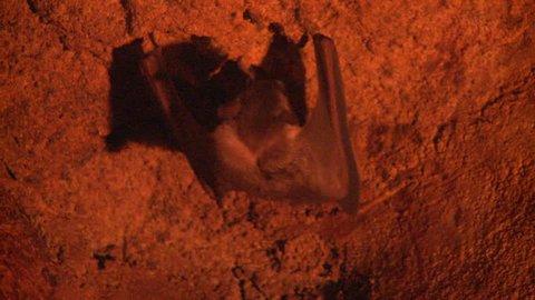 Ruwenzori Long-haired Fruit Bat Adult Lone Defecating Pooping Guano