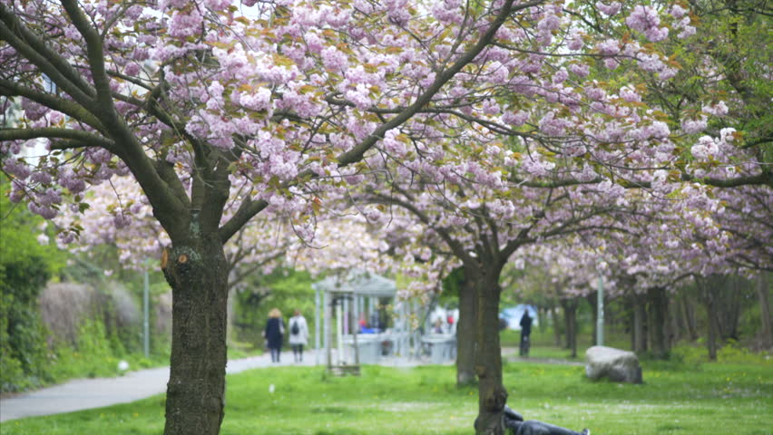 Falling Pink Flowers Japanese Cherry Trees Windy Day Berlin