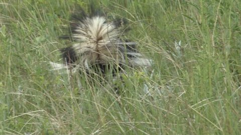 Striped Skunk Adult Lone Foraging in Summer Raised Tail in South Dakota