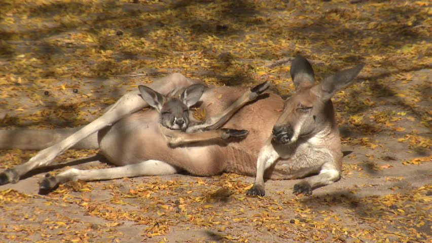 Red Kangaroo Female Adult Young Joey Family Resting Bedded Pouch Legs Sticking Out