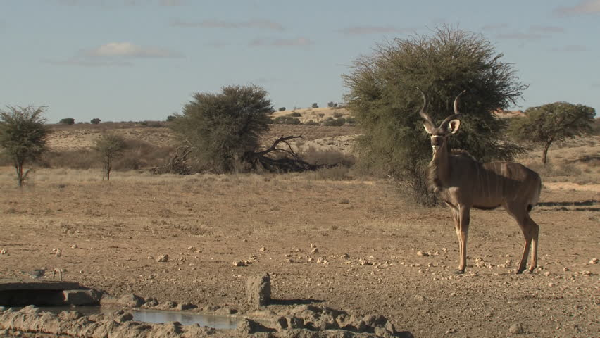 Greater Kudu Adult Lone Alarmed Frightened Running Dry Season Water Hole in South Africa