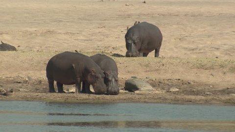 Hippopotamus Adult Herd Several Standing Dry Season Beach in South Africa