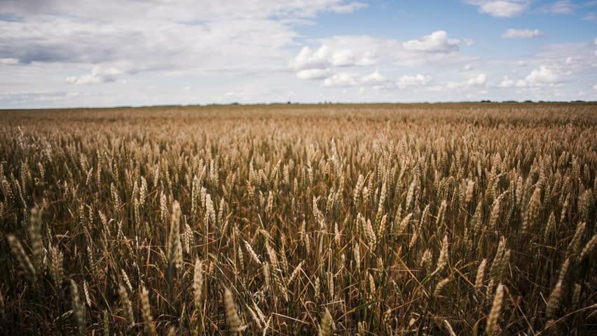 Landscape rye wheat field | Shutterstock HD Video #1011508319
