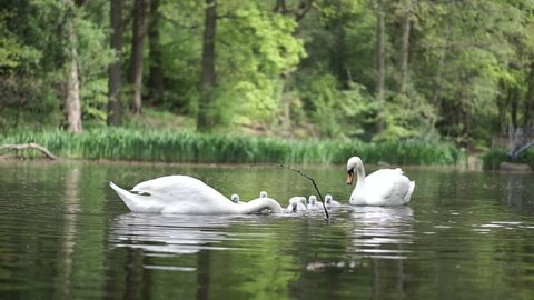 A family of swans with cygnets dabbling on a lake