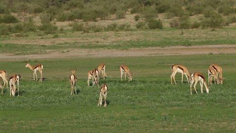 Herd of springbok antelopes (Antidorcas marsupialis) feeding, Kalahari, South Africa