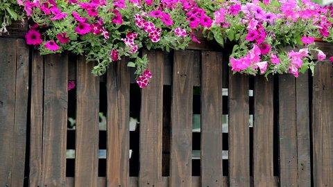 petunia purple flowers on wooden fence