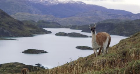 Guanaco grazing on hill in torres del paine Patagonia