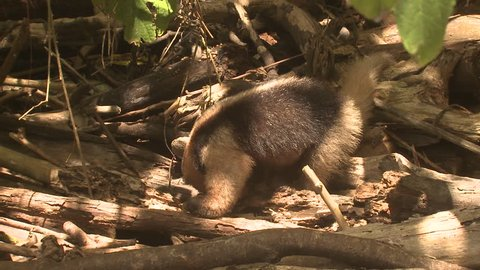 Tamandua Lone Eating Northern Anteater in Costa Rica