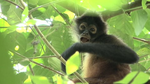 Spider Monkey Lone Grooming Cleaning in Costa Rica