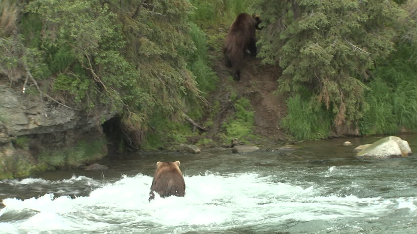 Brown Bear Adult Several Bears Chasing Aggression in Summer in Alaska