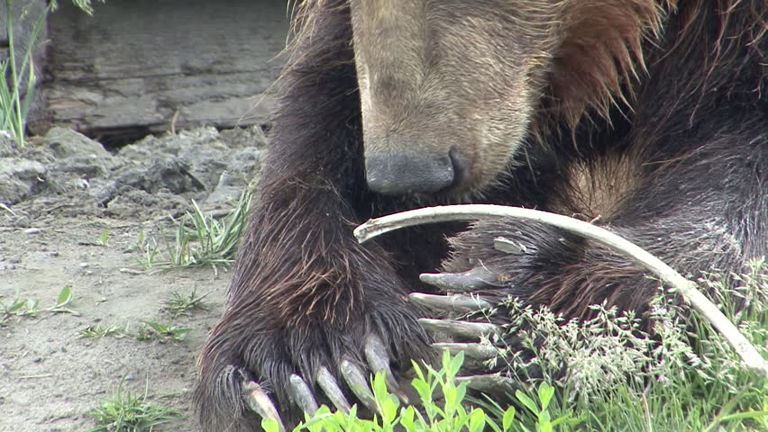 Brown Bear Adult Lone Chewing in Summer Claws in Alaska