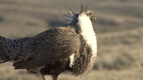 Sage Grouse Male Adult Lone Breeding in Spring Courtship Display in Wyoming