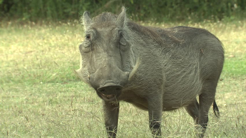 Warthog Adult Lone Eating Dry Season in South Africa