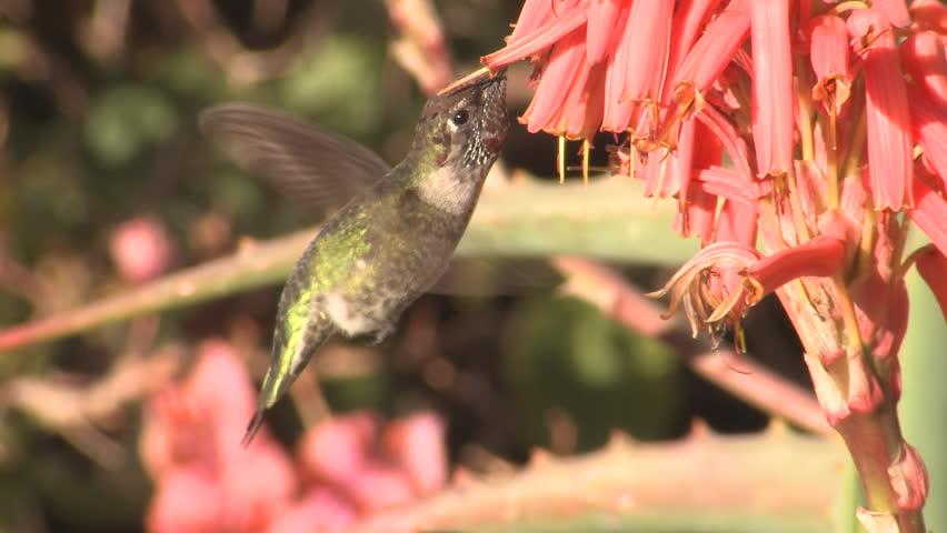 Annas Hummingbird Adult Lone Eating Flower Nectar in California