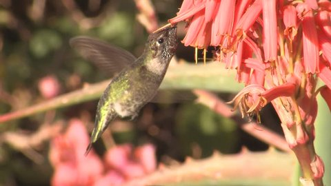 Annas Hummingbird Adult Lone Eating Flower Nectar in California