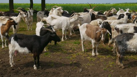 Funny goat on the farm. Herd of goats on nature pasture. Wildlife and ecology.