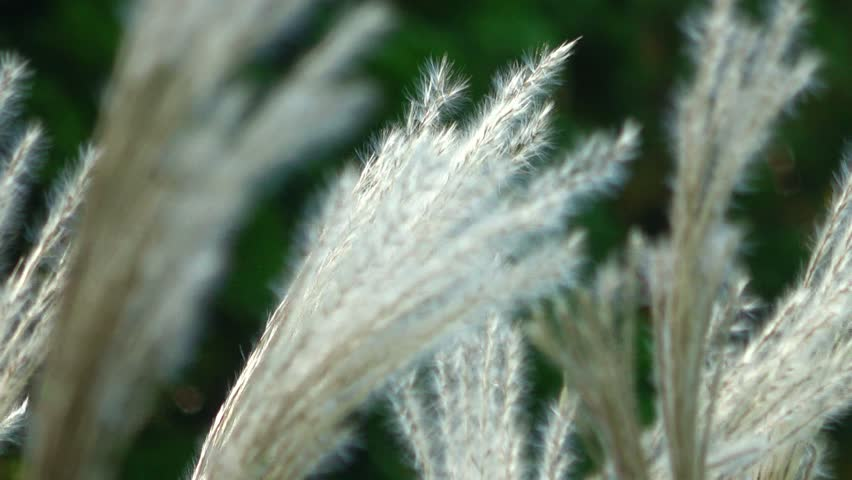 White feathery grass blowing in the wind. Close view