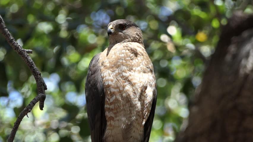 Coopers Hawk in oak tree at Corriganville Park in Simi Valley, California.