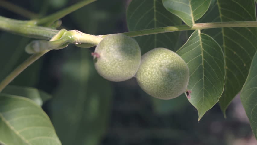 Walnuts on the Branch. Nuts on the Tree. Unripe Walnuts. Walnuts on a Walnut Tree.