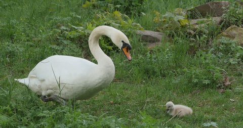 Mother swan foraging in grass, one cygnet baby swan sites nearby her in grass.