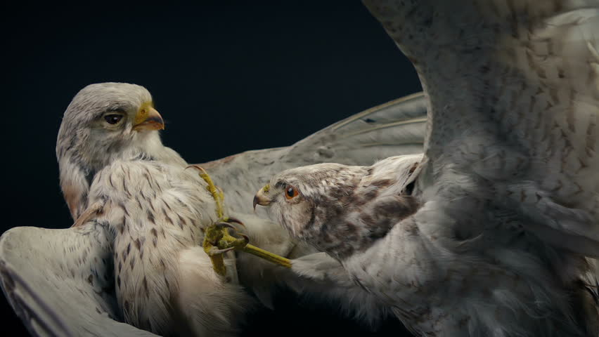 Birds In Combat Taxidermy Moving Shot