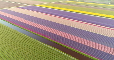 Amazing aerial view of colorful blossoming fields of tulips in Lisse, Netherlands.