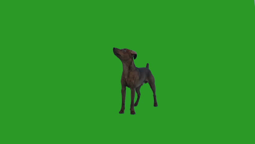Miniature Pinscher Dog stands and looks on the green screen #1011923309