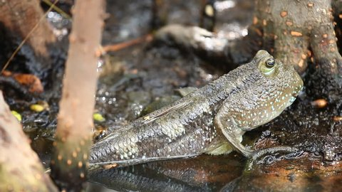 Mudskipper  fish in swamp forest Thailand