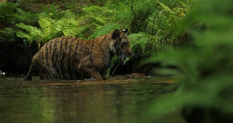 Amur tiger in the river water. Dangerous animal, taiga, Russia. Big animal in green forest. Siberian wild cat in nature habitat, green fern shore.