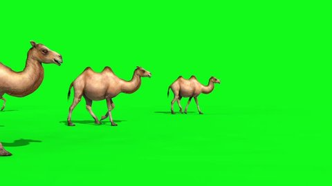 Group of Camels Walks Green Screen 3D Renderings Animations