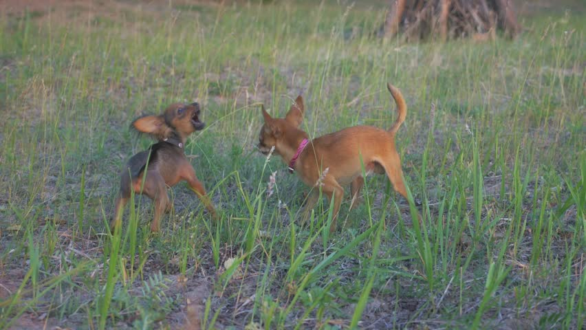 Super slow motion shot of two small dogs Toy Terrier roughhousing on grass, funny battle of young beagle and white terrier. Doggy wrestling. | Shutterstock HD Video #1012070129